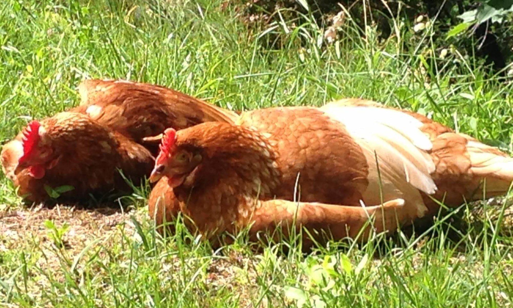Sorello - Hühner auf der Sonnenseite des Lebens